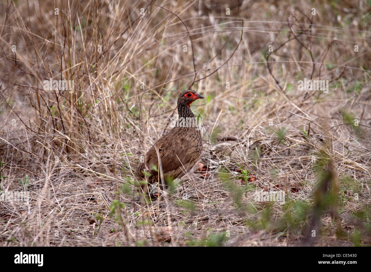 Swainsons spur fowl at edge of thicket in Namibia - Stock Image
