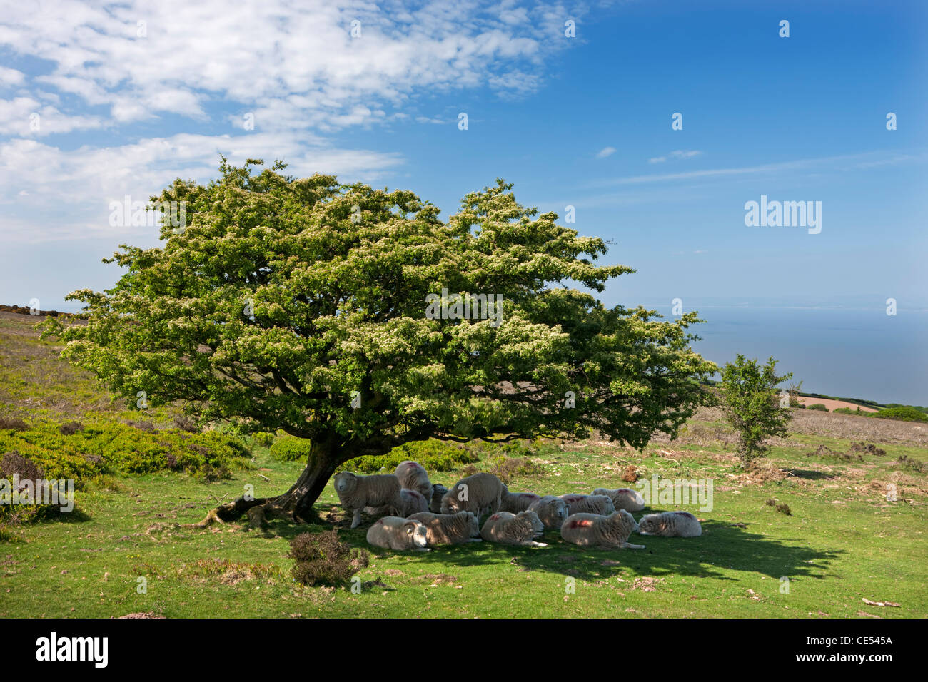 Flock of sheep taking shelter from the hot sunshine beneath a hawthorn tree, Exmoor, Somerset, England. Spring (May) - Stock Image