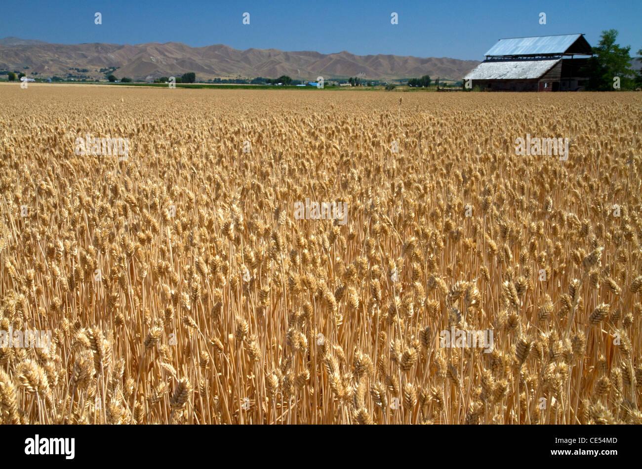 Wheat field near Emmett, Idaho, USA. - Stock Image