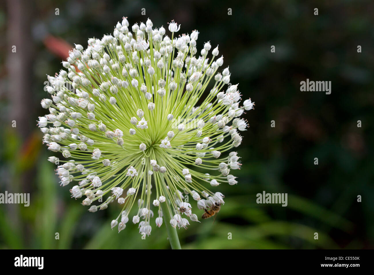 The bulbous flower of a garlic plant. - Stock Image
