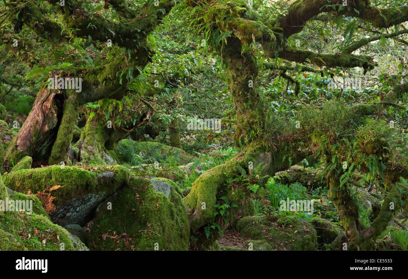 Wistman's Wood National Nature Reserve in Dartmoor, Devon, England. Autumn (October) 2011. - Stock Image