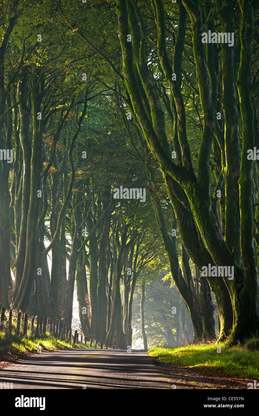 Majestic tree lined lane on a misty morning in Dartmoor, Devon, England. Autumn (October) 2011. - Stock Image