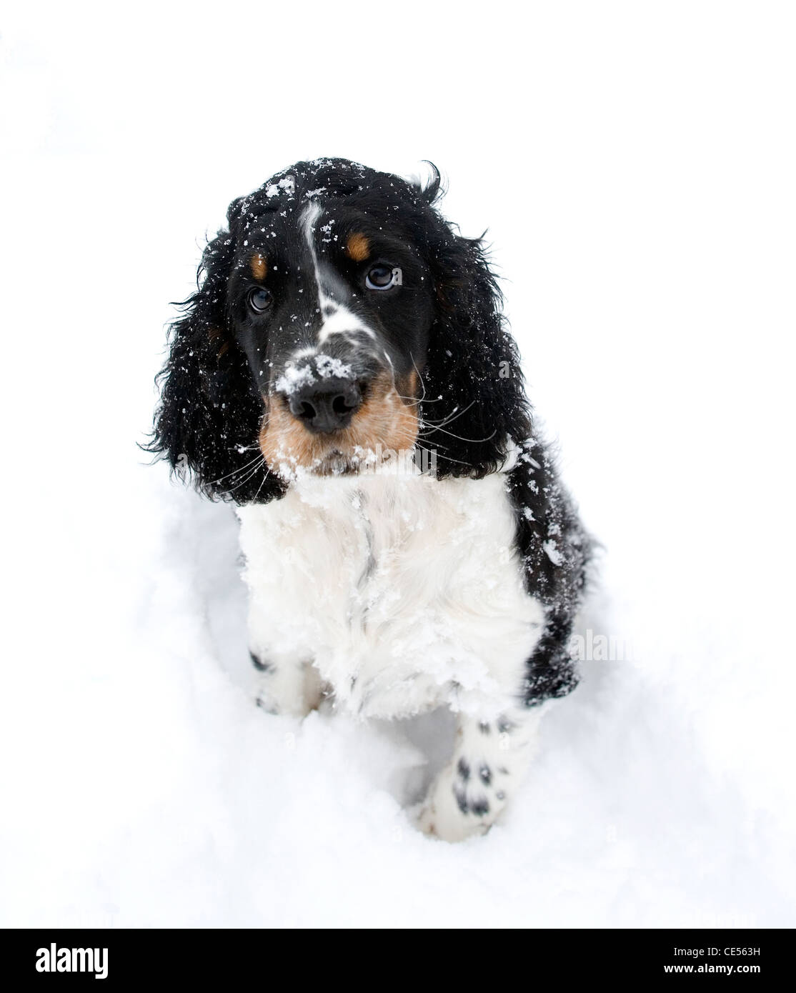 Indie, the English springer spaniel puppy and his first outing in the snow, has a quizzical, funny expression as - Stock Image