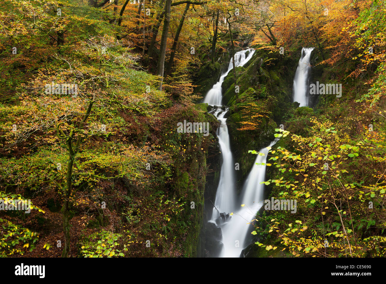 Stock Ghyll Force waterfall surrounded by autumn foliage, Ambleside, Lake District, Cumbria, England. Autumn (November) - Stock Image