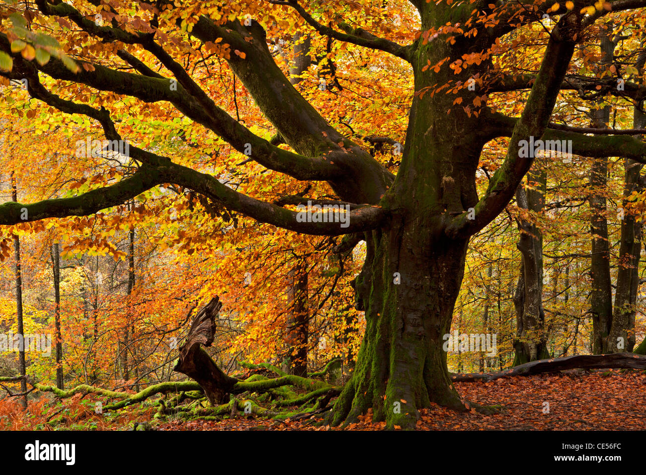 Beech tree with beautiful golden autumnal colours, Lake District, Cumbria, England. Autumn (October) 2011. - Stock Image