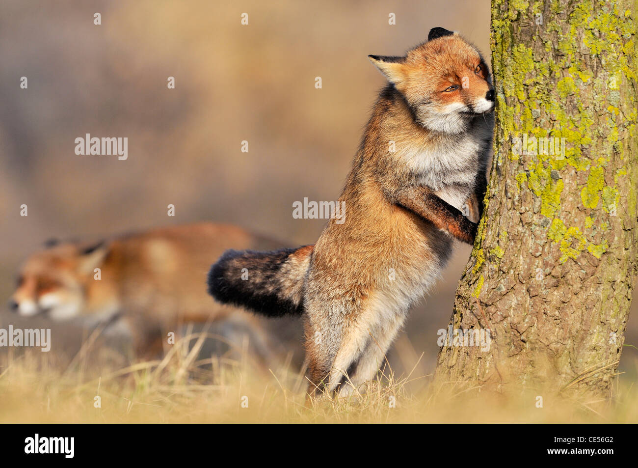 Red fox (Vulpes vulpes) smelling scent mark on tree trunk at border of territory - Stock Image