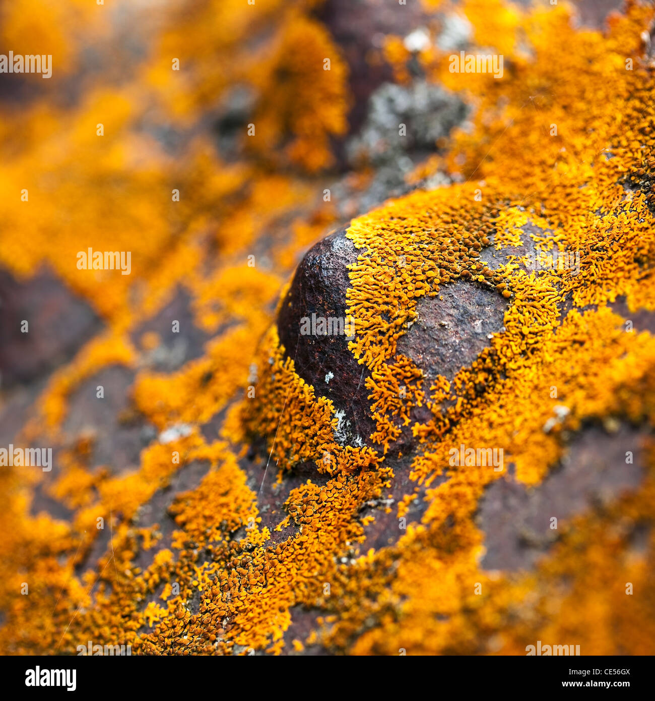 Red Lichen on metal, close up. - Stock Image