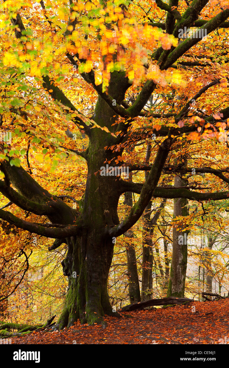 Beech tree with autumn colours, Lake District, Cumbria, England. Autumn (October) 2011. - Stock Image