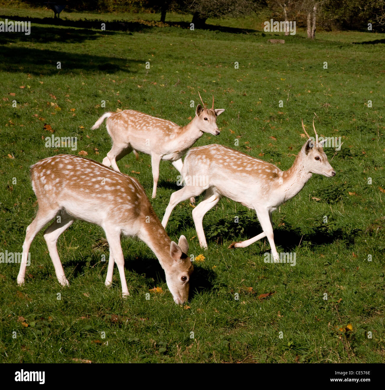 Fallow Deer hind and two young bucks in Ashton Court deer park in Bristol UK - Stock Image