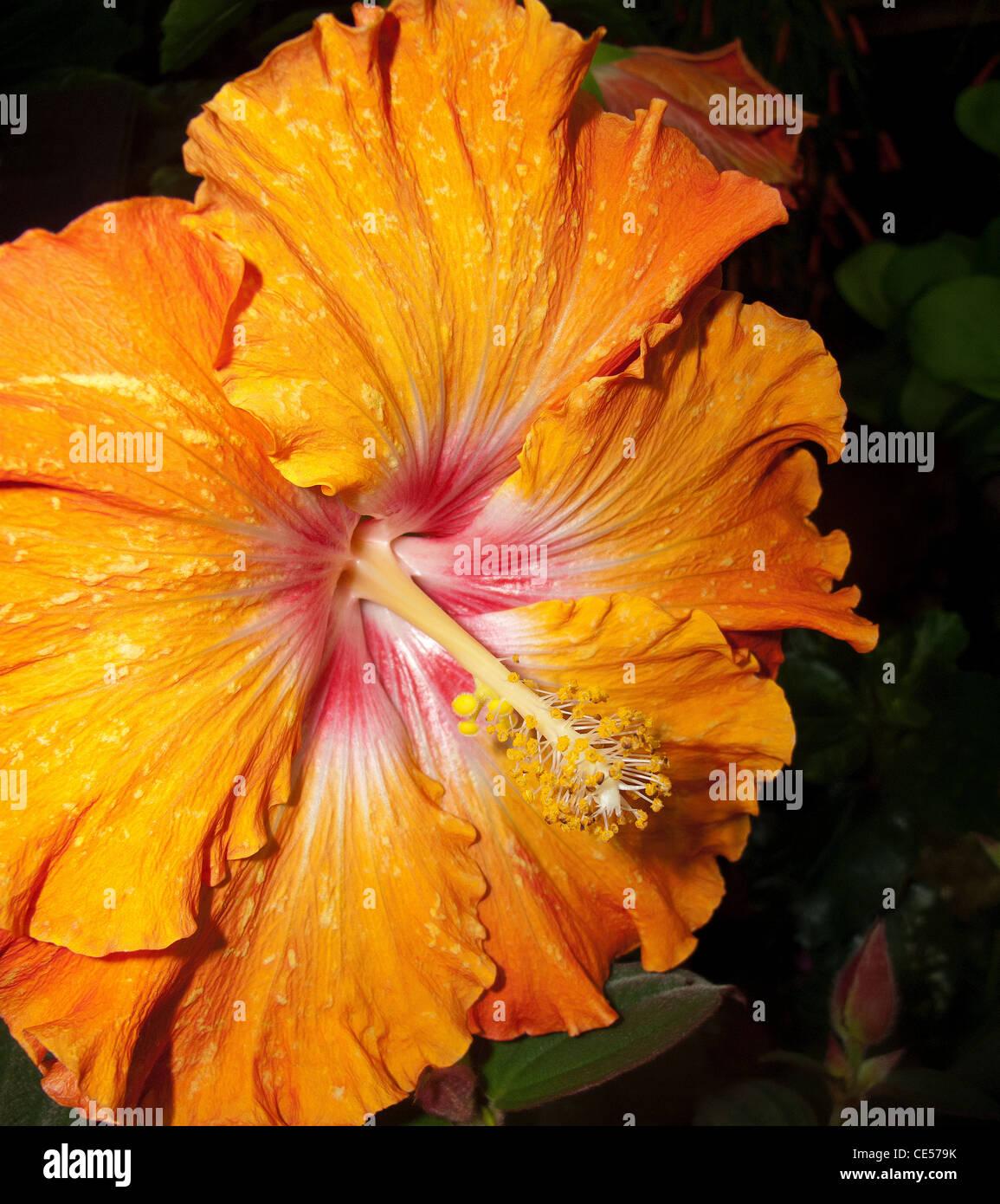 Hibiscus Restaurant Stock Photos Hibiscus Restaurant Stock Images