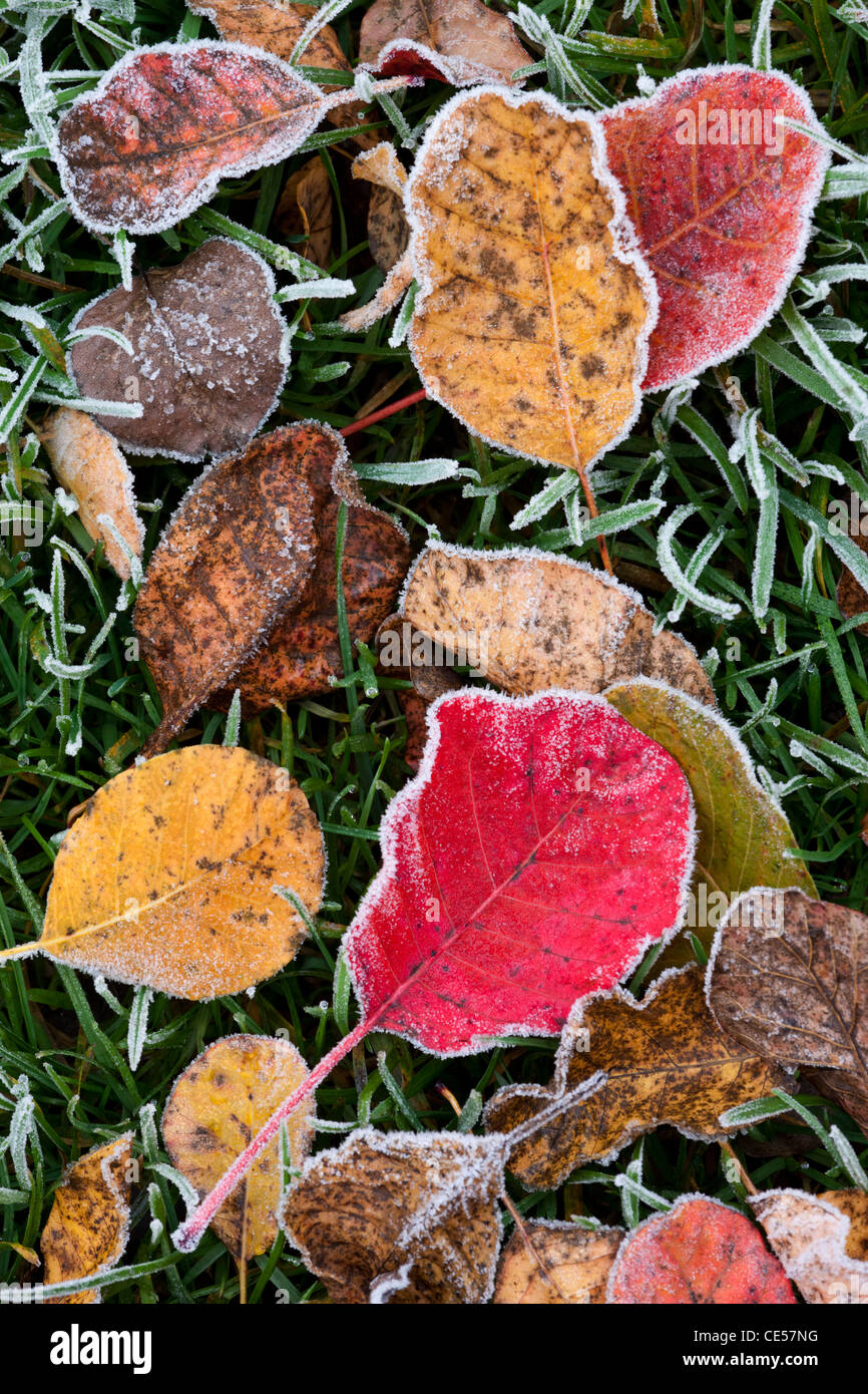 Frosted autumn leaves, Salisbury, Wiltshire, England. Autumn (November) 2011. - Stock Image