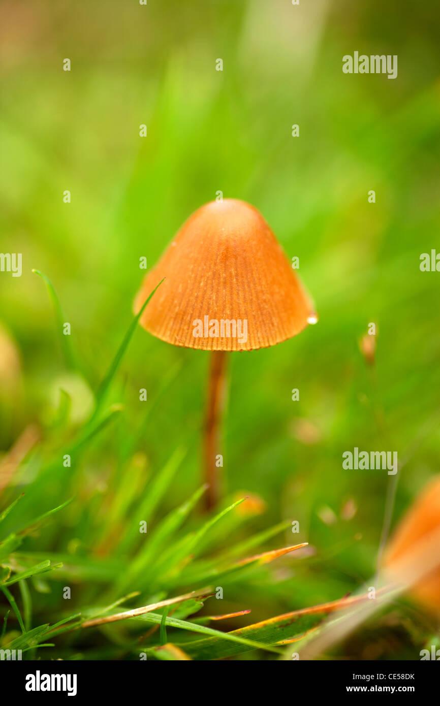 small mushroom growing on Dartmoor - Stock Image