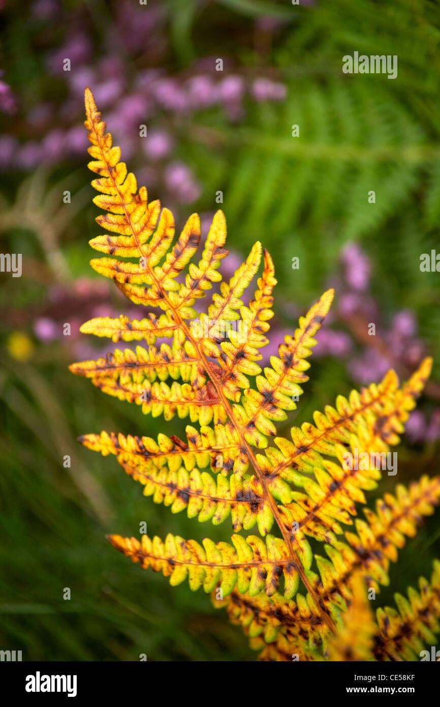 Autumnal ferns, bracken and heather - Stock Image