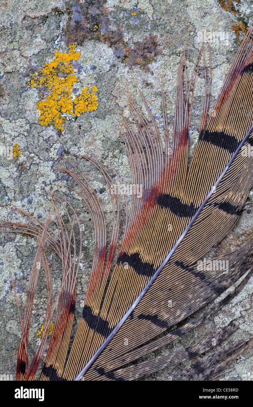 Detail of a pheasant feather on lichen-covered rock - Stock Image