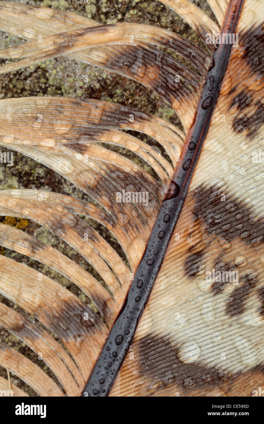 Detail of a pheasant feather with dew on lichen-covered rock - Stock Image