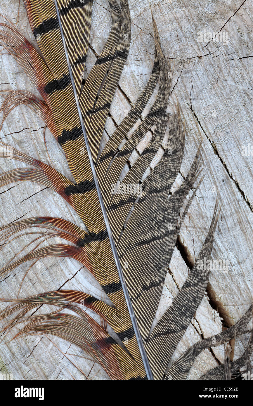 Detail of a pheasant feather on weathered wood - Stock Image