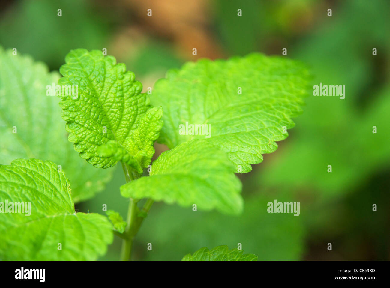 Lemon balm (Melissa officinalis), a perennial herb in the mint family Lamiaceae Stock Photo