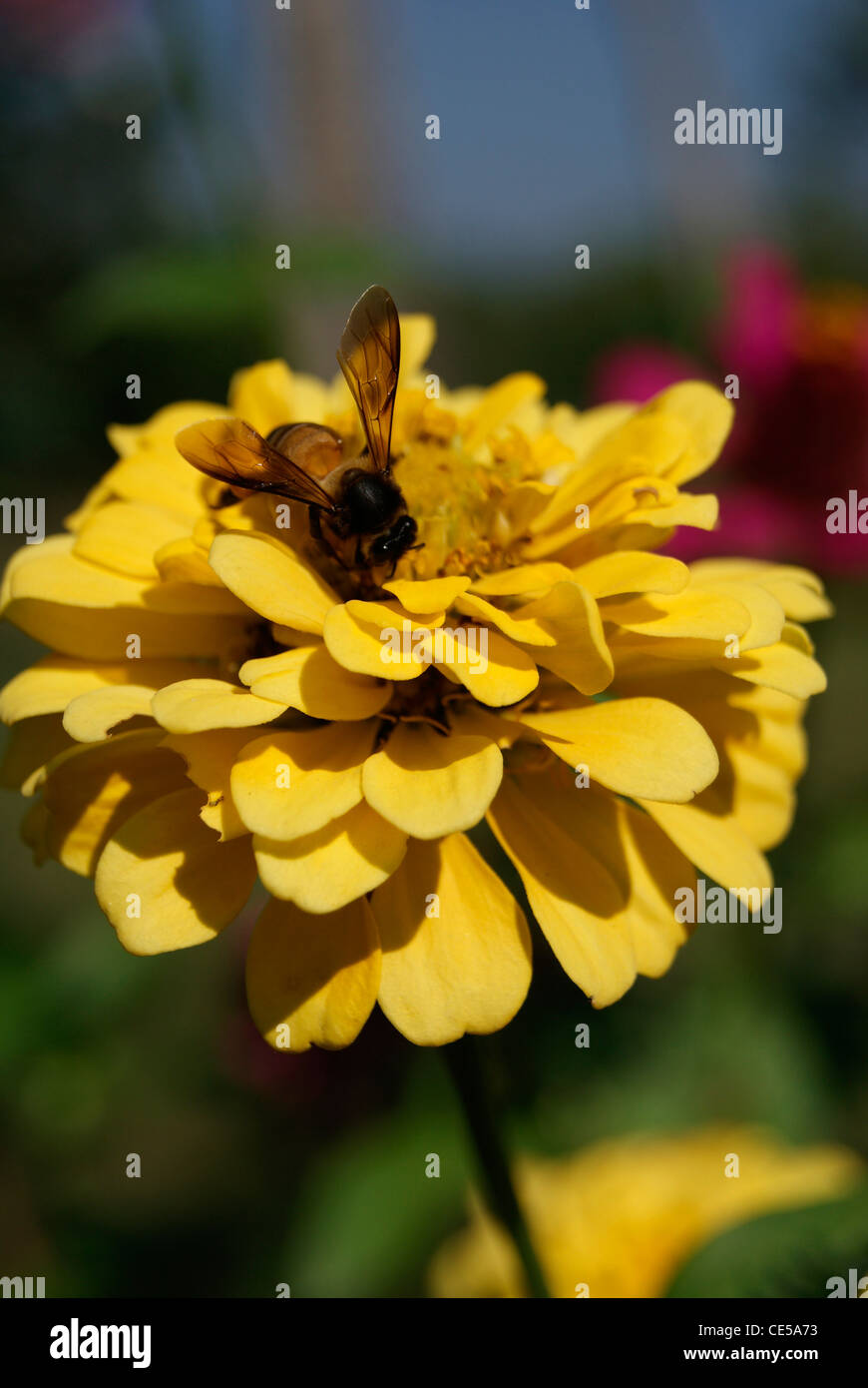 Honey Bee collecting honey from a yellow Dahlia flower - Stock Image