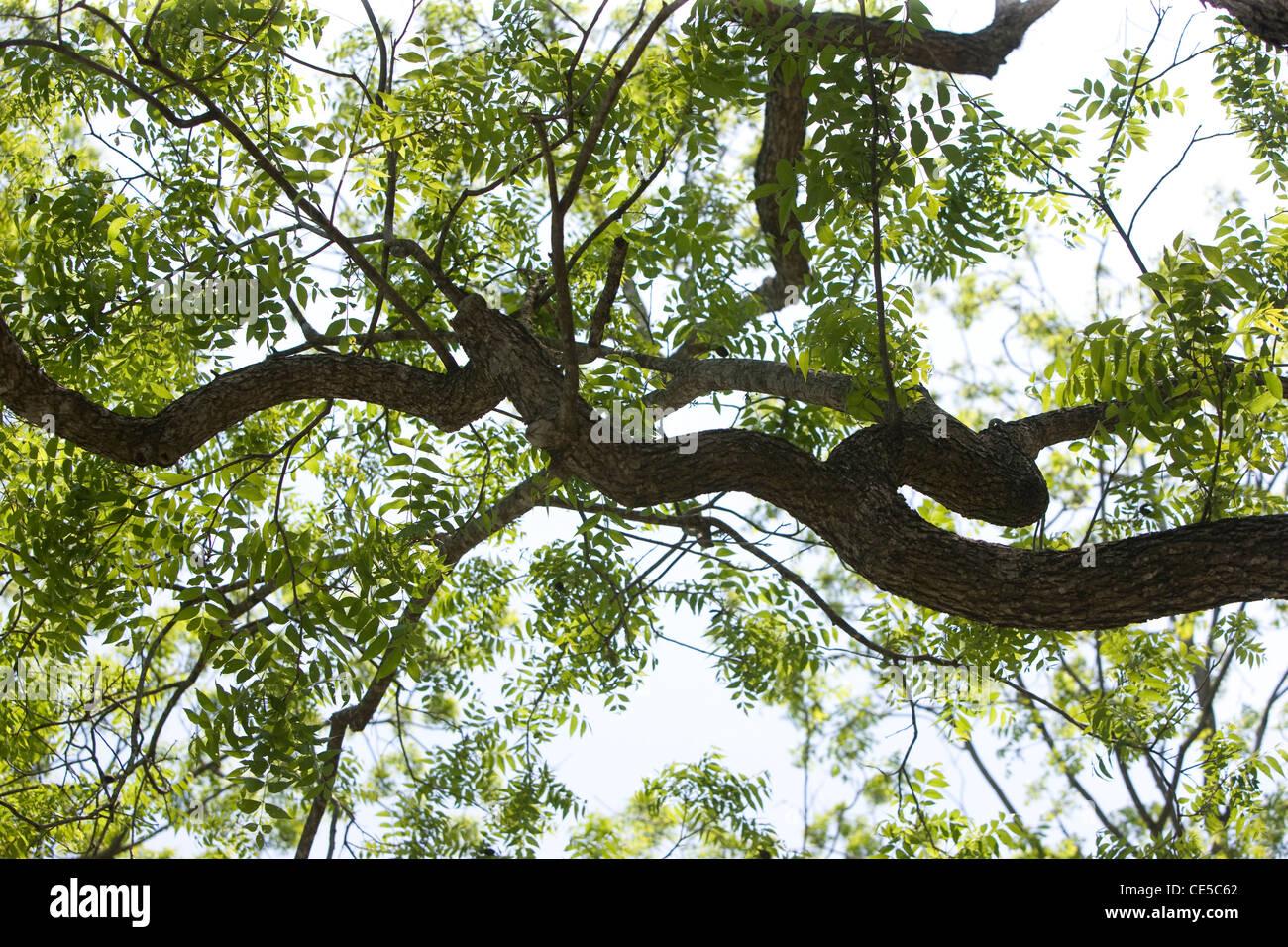 Live Oak Tree in Springtime in Austin, Texas - Stock Image