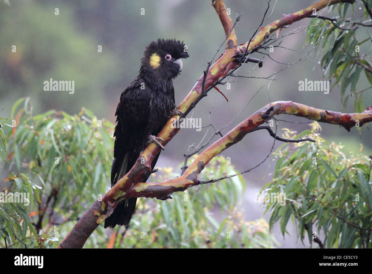 Yellow-tailed black-cockatoo. - Stock Image