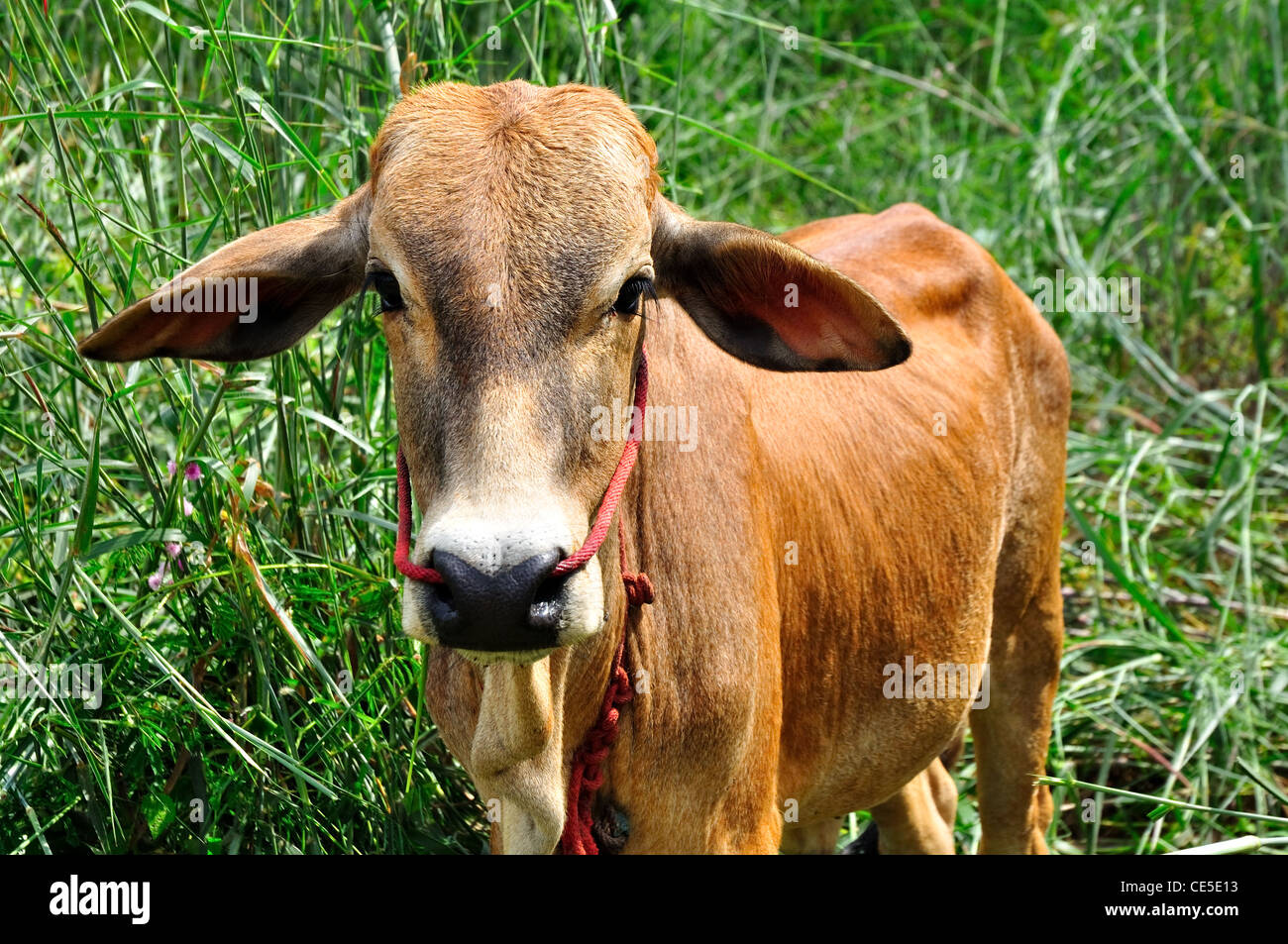 Ox in field - Stock Image