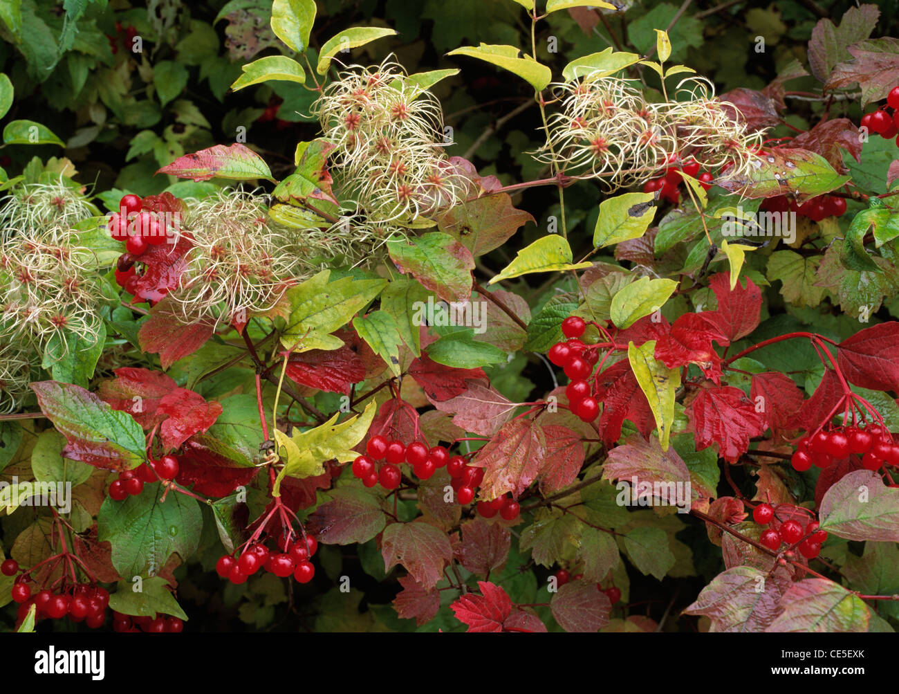 Old Man's Beard, in fruit, and Guelder Rose berries in hedgerow on chalk, Hampshire - Stock Image