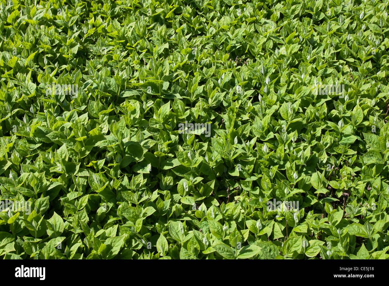 Background From Live Jasmine Philadelphus Coronarius Leaves