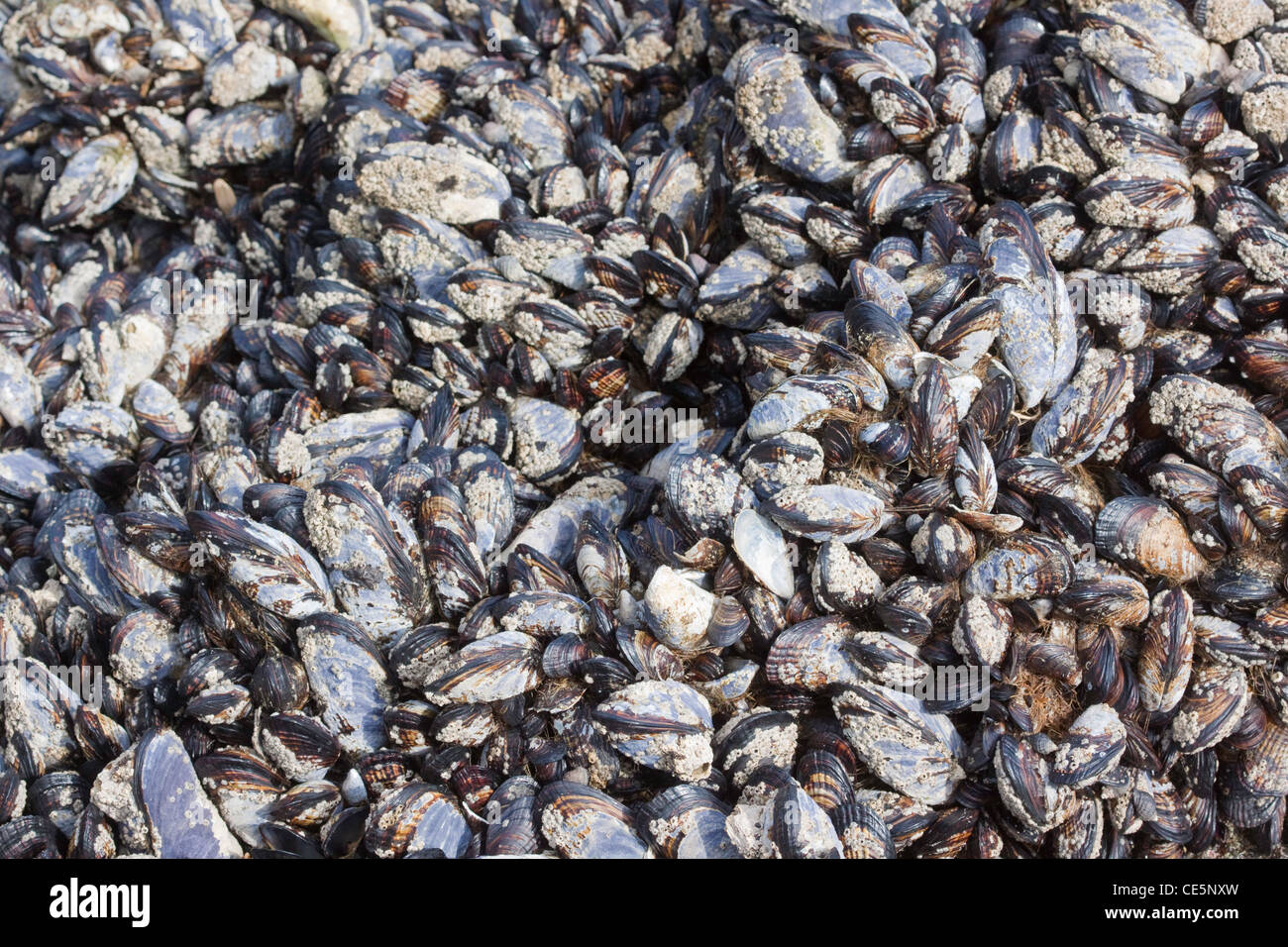 California Mussel Mytilus californianus Newport, Oregon, United States 28 April Typical grouping in inter-tidal - Stock Image