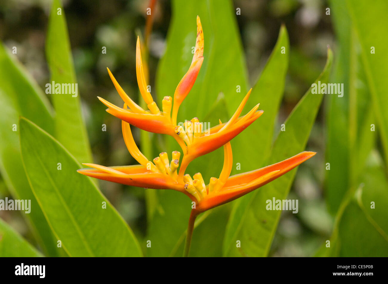 Heliconia sp Costa Rica - Stock Image