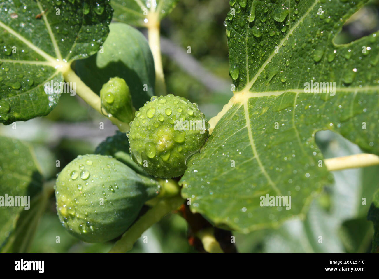 Figs on tree after rain - Stock Image