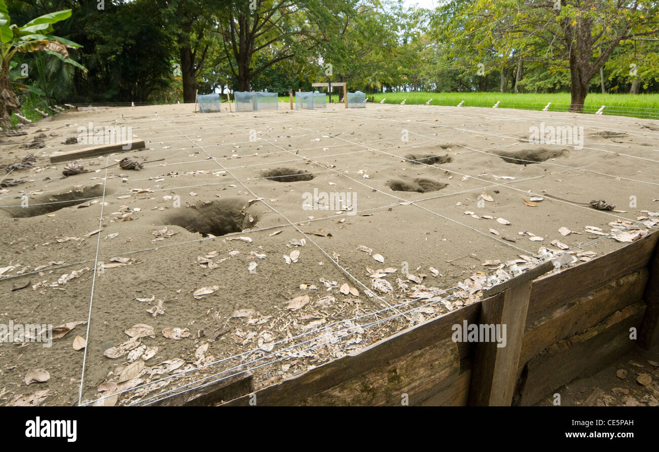 Olive Ridley Turtles Hatchery Costa Rica - Stock Image
