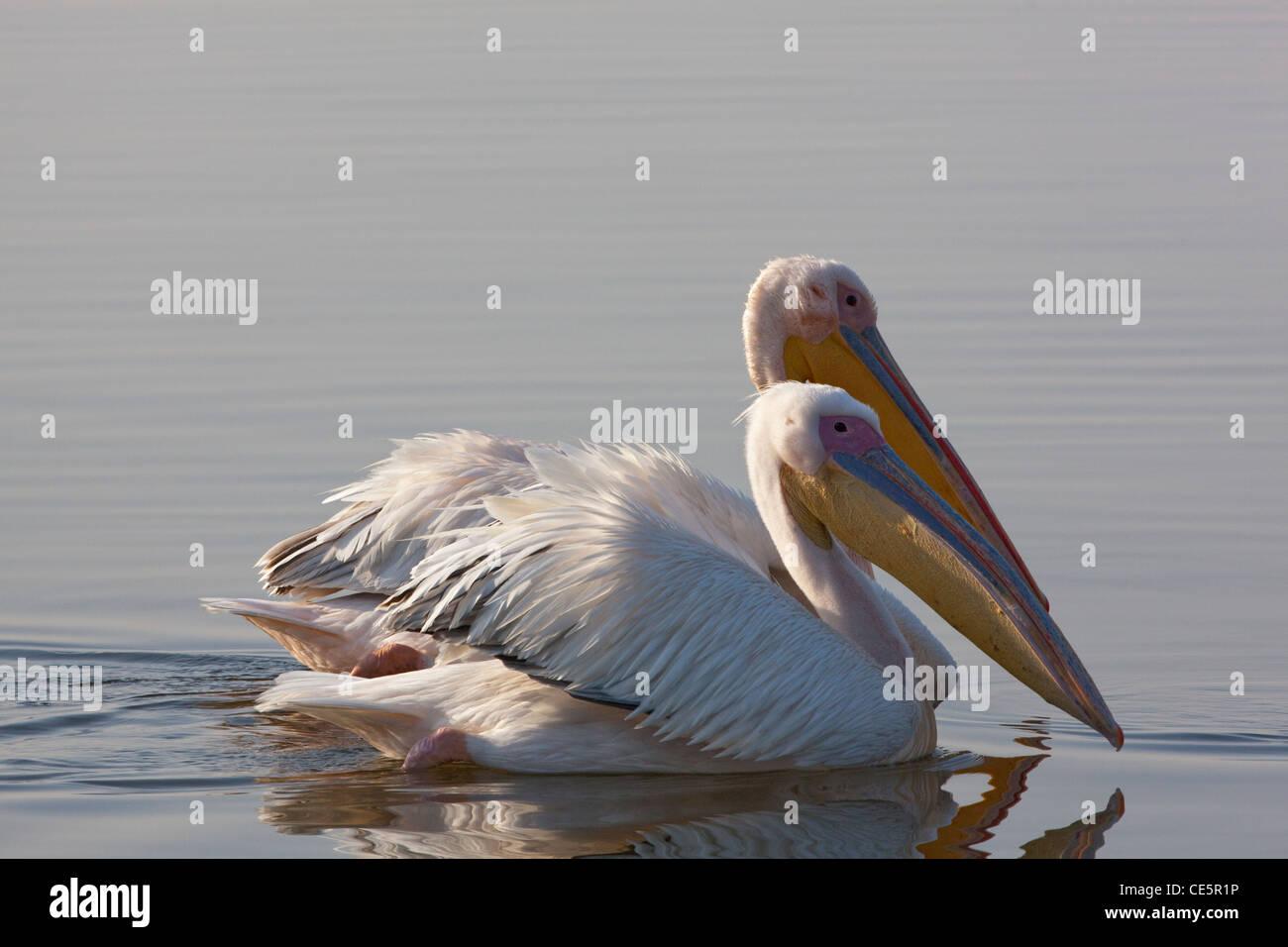 White Pelicans (Pelecanus onocrotalus). Swimming. Lake Awasa. Ethiopia. - Stock Image
