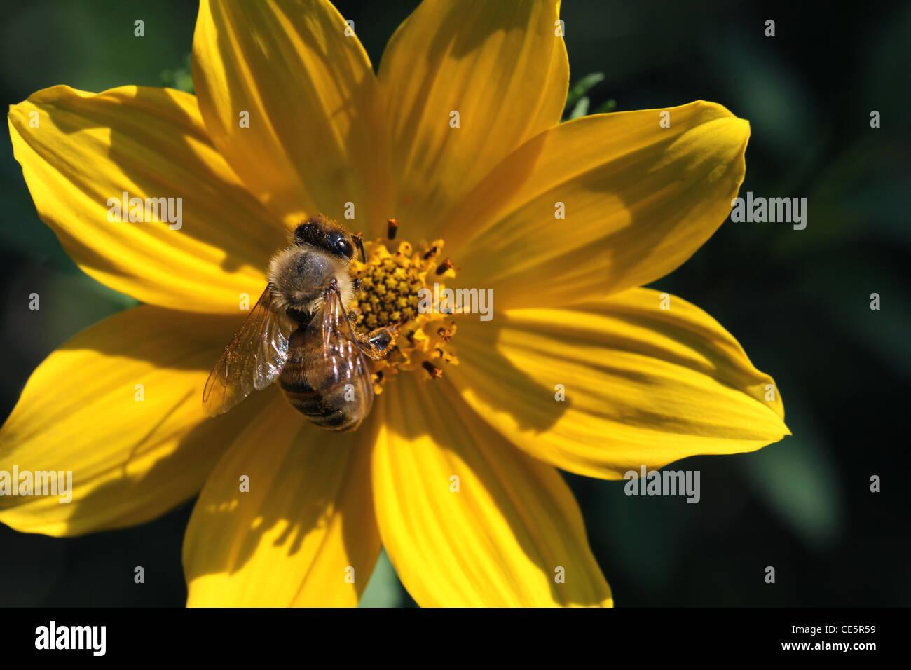 honey bee collect pollen feeding common sunflower - Stock Image