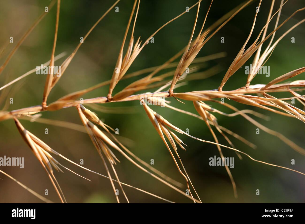 bottlebrush grass seed head - Stock Image