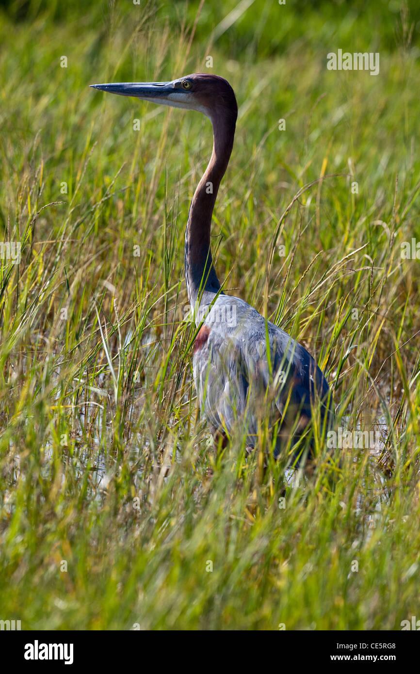Goliath Heron (Ardea goliath). Lake Awasa, Ethiopia. - Stock Image