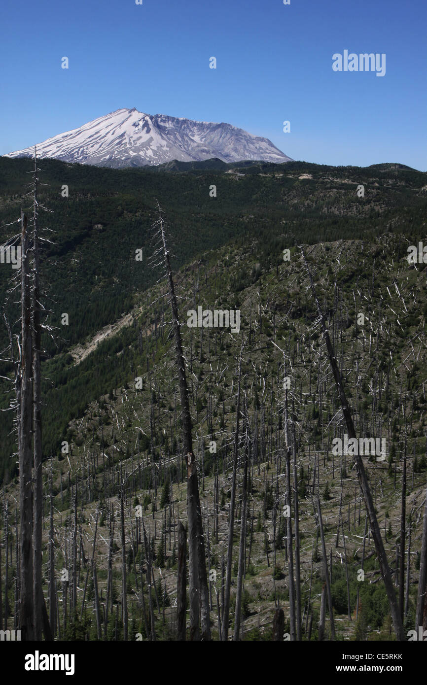trees killed from 1980 eruption Mount St Helens Volcano National monument - Stock Image
