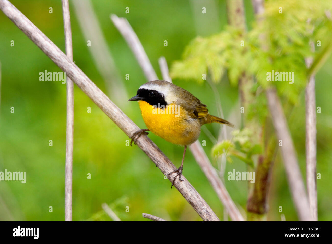 Common Yellowthroat Geothlypis trichas Elkhorn Slough, California, United States 23 April Adult male Parulidae - Stock Image