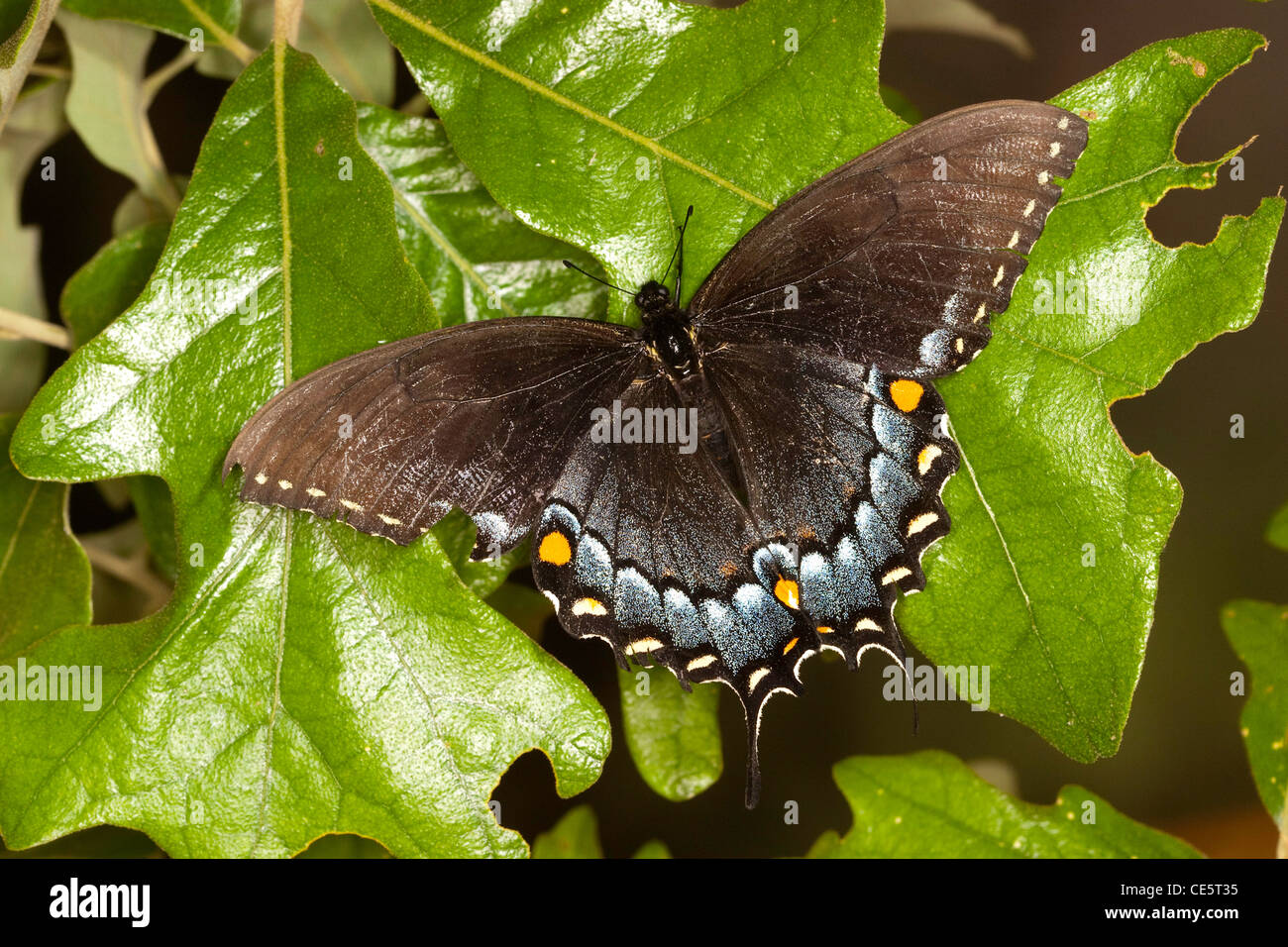 Eastern Tiger Swallowtail Papilio glaucus McCormick Creek State Park, Indiana, United States 24 May Dark form female - Stock Image
