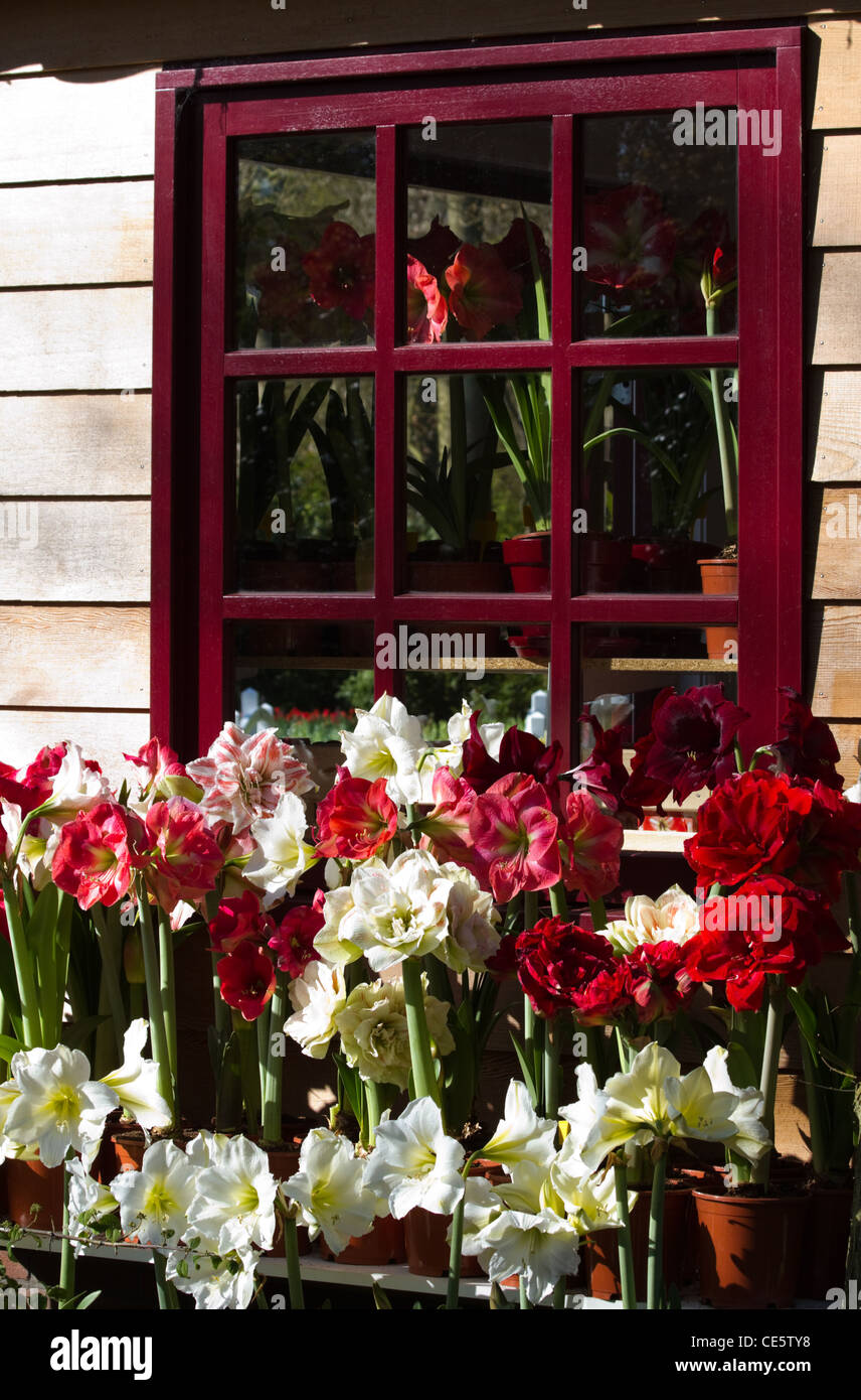 Lots of blooming Amaryllis flowers with red window in background Stock Photo