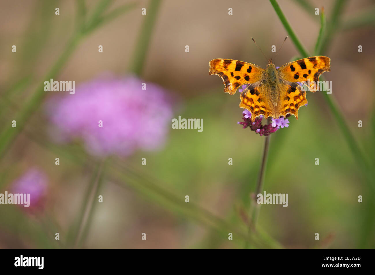 Comma butterfly feeding on verbena flowers in an English summer garden. - Stock Image