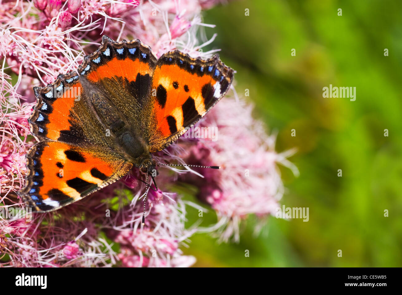 Small tortoiseshell or Aglais urticae on Gravel root in summer - Stock Image