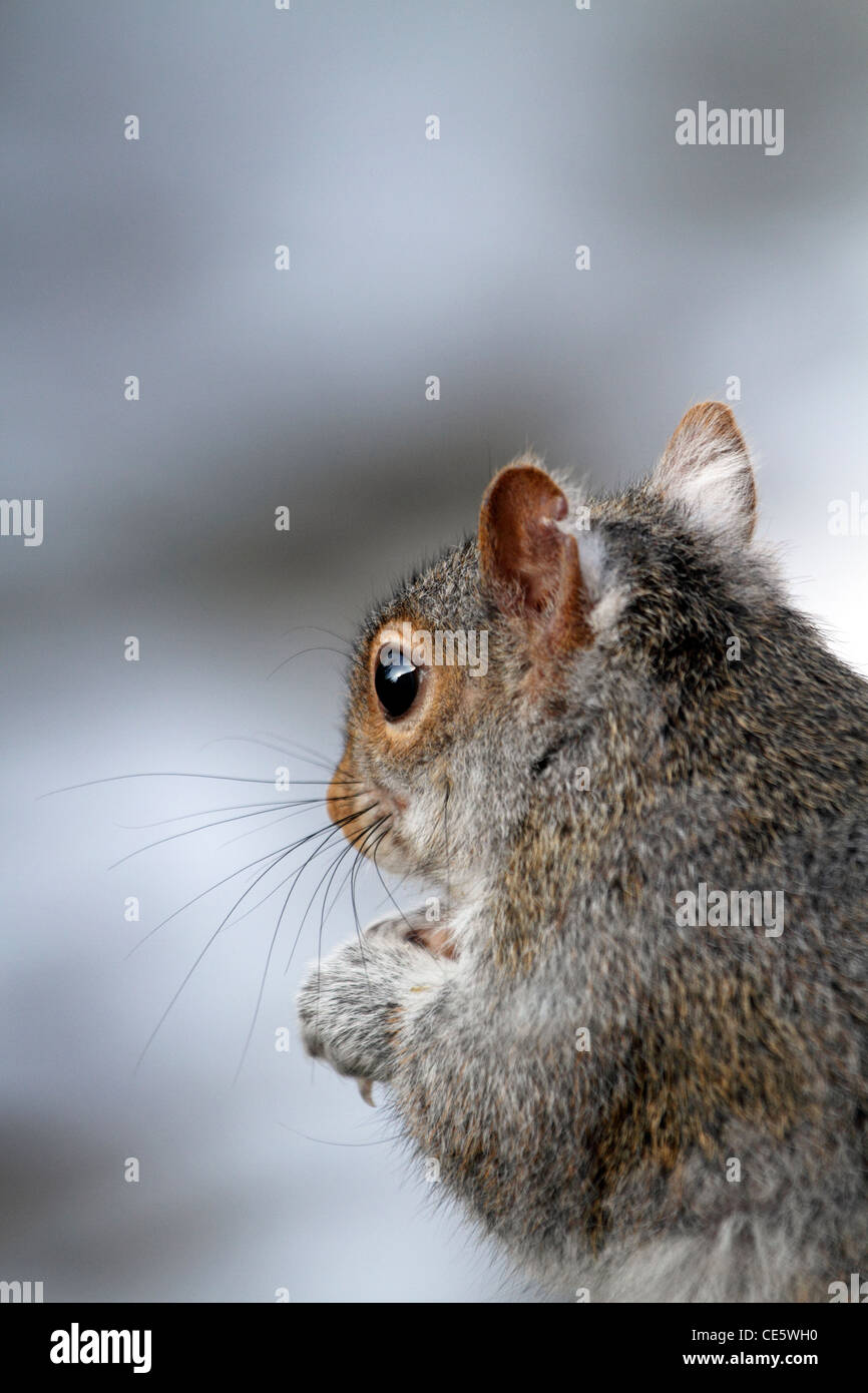 An Eastern Grey Squirrel, Sciurus carolinensis, staring out into the distance. Franklin Lakes, NJ, USA - Stock Image