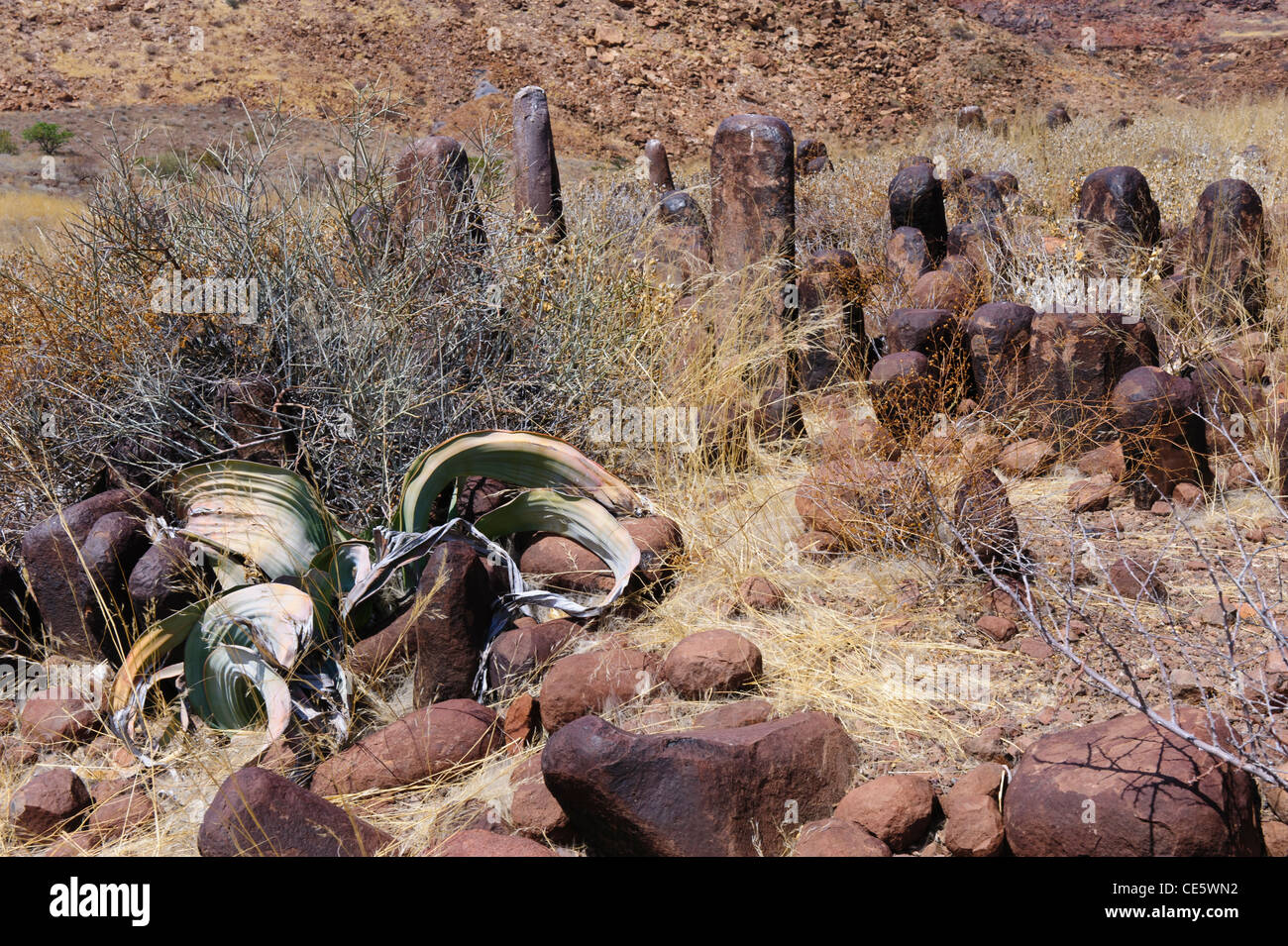 The 'living fossil' plant Welwitschia mirabilis, between volcanic rock formations near Twyfelfontein. Damaraland, - Stock Image