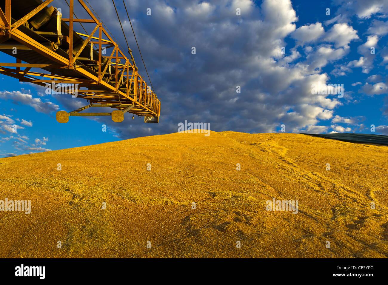 Pile of wheat, Emerald QLD Australia - Stock Image