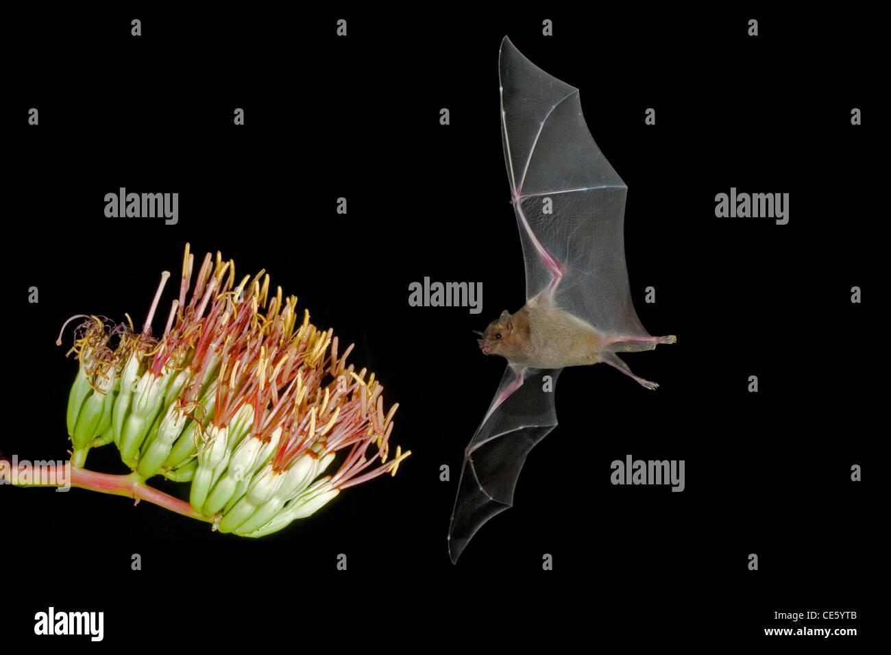 Lesser Long-nosed Bat Leptonycteris curasoae Amado, ARIZONA, United States 23 August Adult at Parry's Agave - Stock Image