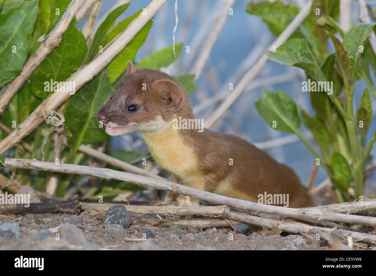Long-tailed Weasel Mustela frenata Clear Lake National Wildlife Refuge, California, United States 10 May Immature - Stock Image