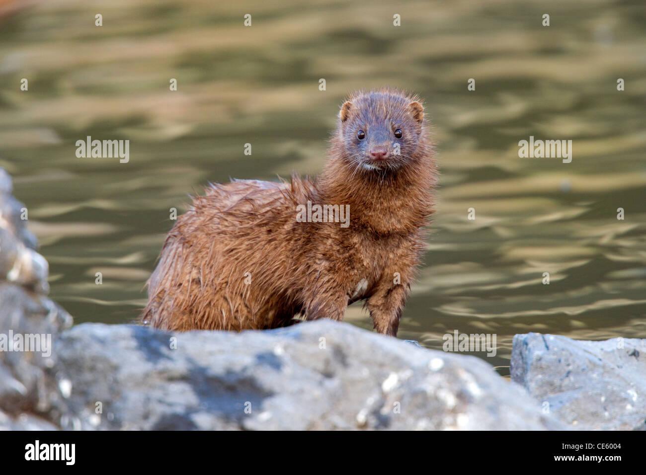 Mink Mustela vison Klamath Falls, Oregon, United States 9 May Adult Mustelidae - Stock Image