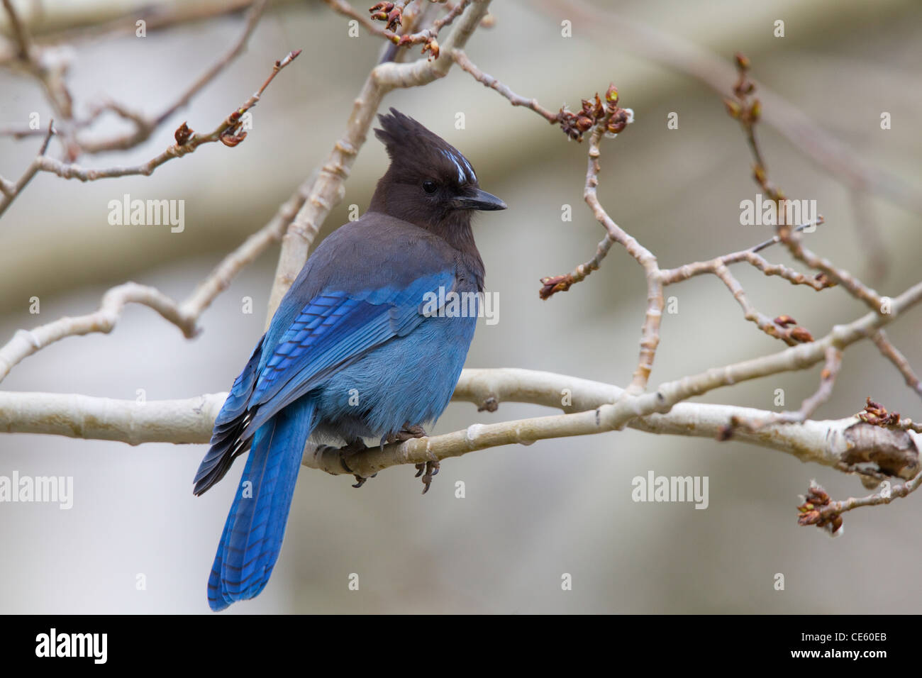 Steller's Jay Cyanocitta stelleri Lee Vining Canyon, California, United States 13 May Adult Corvidae - Stock Image