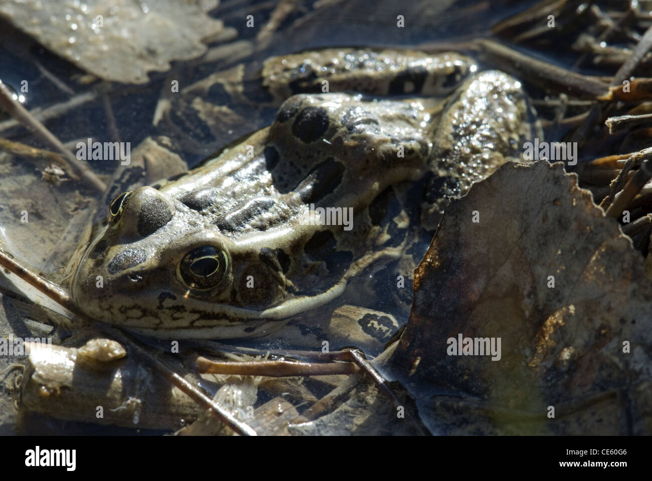 Northern Leopard Frog, (Lithobates pipiens), Cedro Creek, Sandia Mountains, Bernalillio county, New Mexico, USA. Stock Photo