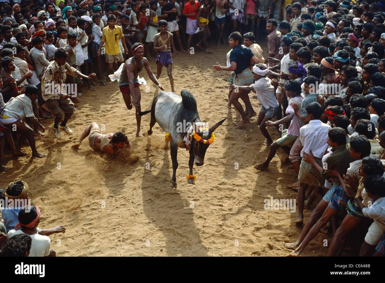 Bull taming festival Jallikattu ; Tamil Nadu ; India Stock Photo